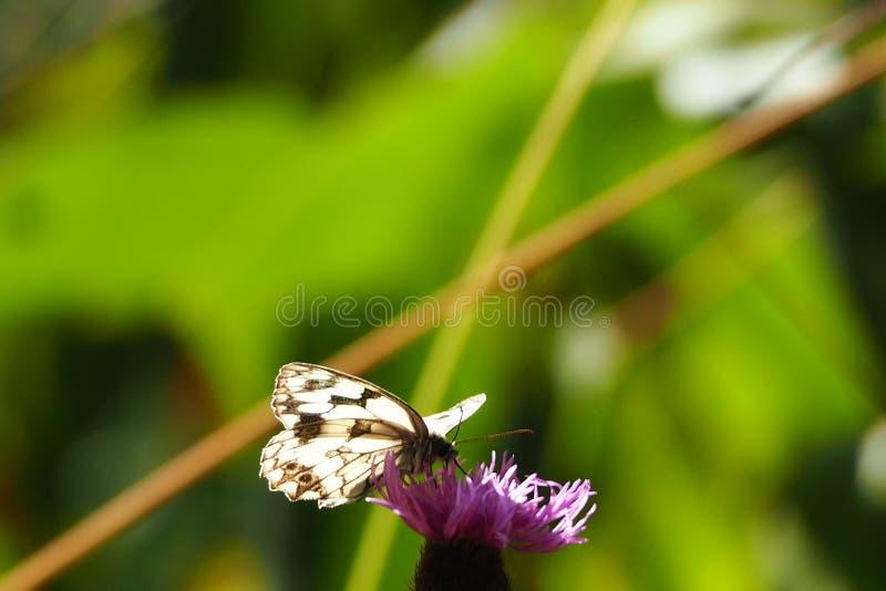 Dreifarbiger Schmetterling: weiß, braun und schwarz auf einer Blume auf dem Weg von Ulla Ulla, La Coruña stockbilder