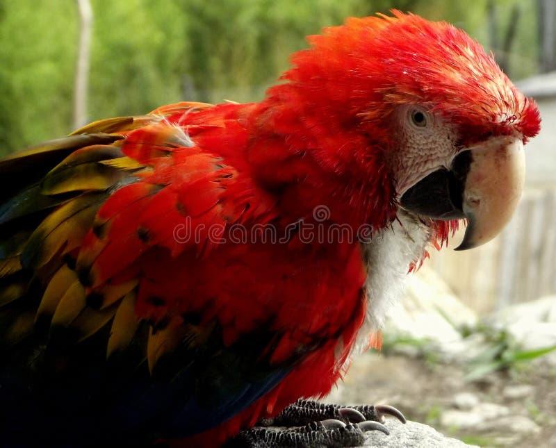Dreifarbiger tropischer Papagei lizenzfreies stockfoto
