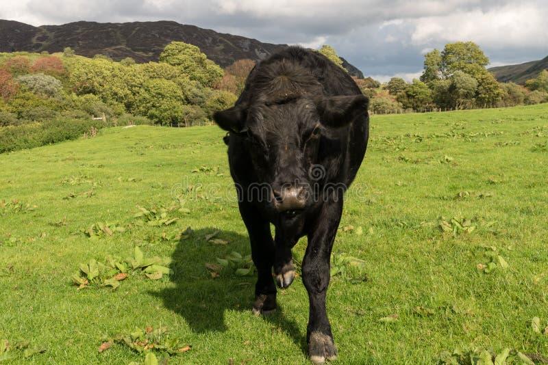 Dreigende zwarte koe of os die aan camera komen stock foto