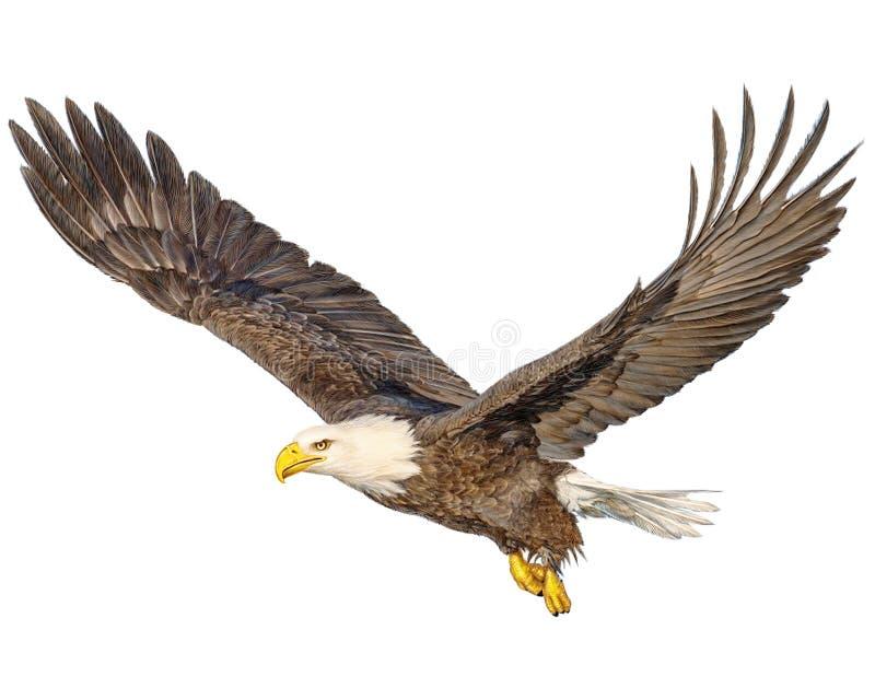 Drenaje de la mano del vuelo del águila calva y color de la pintura en el fondo blanco libre illustration