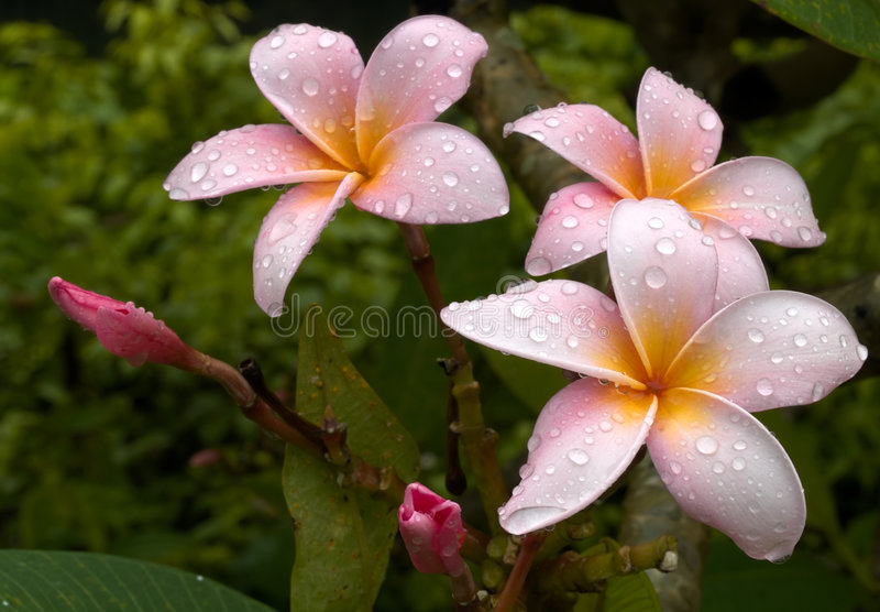 Download Drenched Plumeria stock image. Image of cluster, pink - 3637947