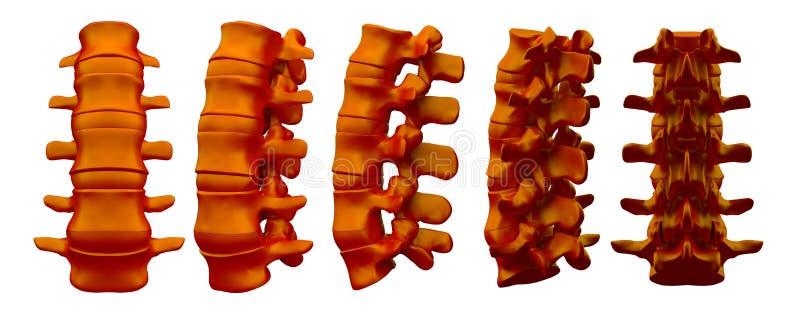 3drendering椎骨的例证 向量例证