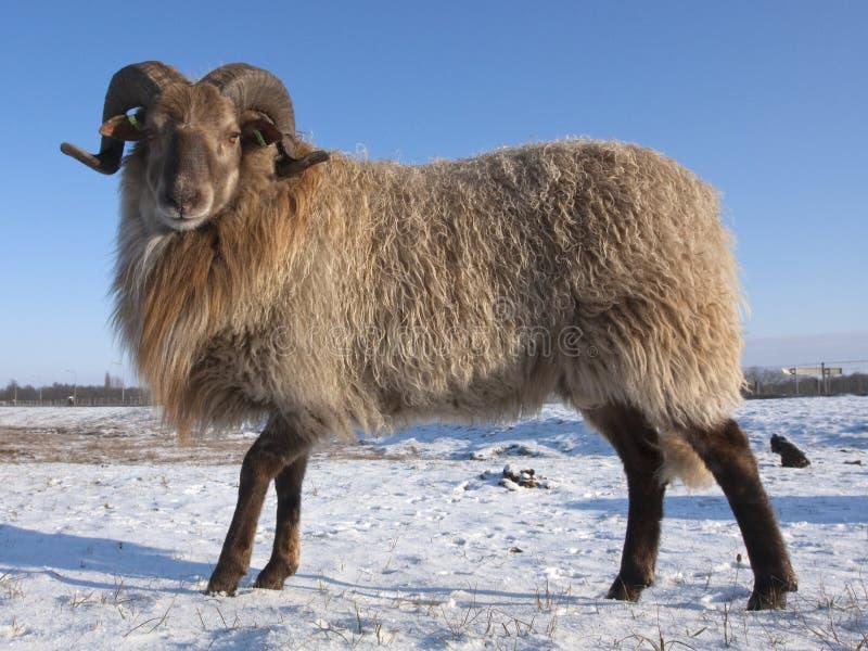 Drents Heideschaap, πρόβατα λαντ στοκ εικόνες