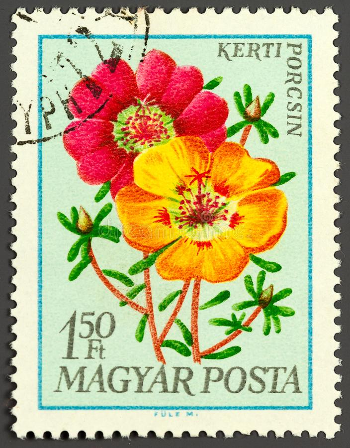 Dresden, Saxony, Germany -  11.07.2019: a stamp printed in Hungary shows portulaca grandiflora flower, circa 1980 stock photo