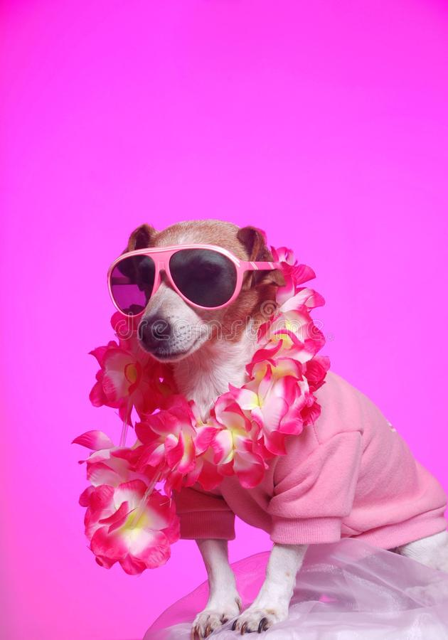 Party animal. A cute little attentive Jack Russell terrier dog with lipstick kiss on his cheek, sunglasses on and dressed up in fancy pink for a doggy party