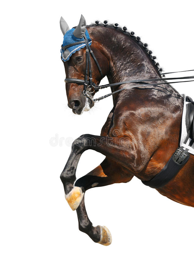 Download Dressage: Bay Hanoverian Horse Stock Photo - Image: 20161106