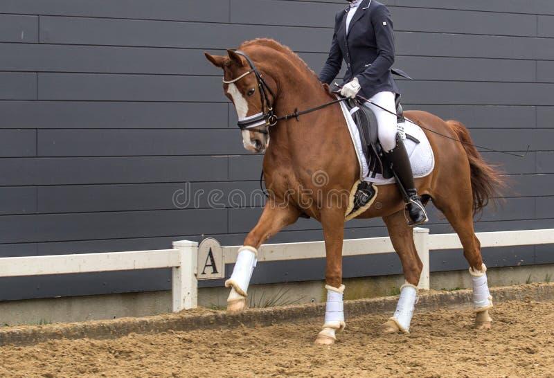 Dressage bay horse. Portrait of dressage bay horse.  royalty free stock photos