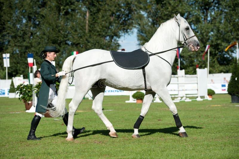 Dressage classico dello stallion di Lipizzan immagini stock