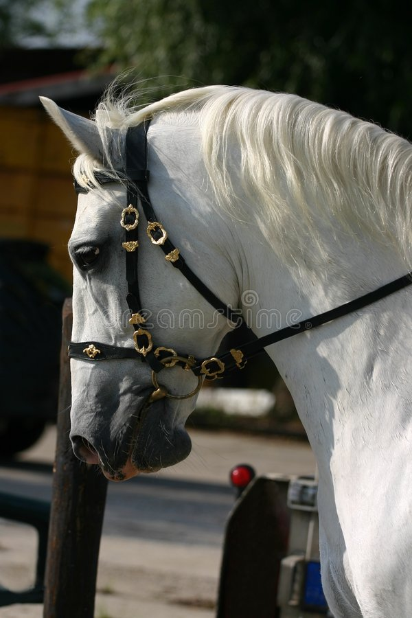 Dressage, head close-up stock images