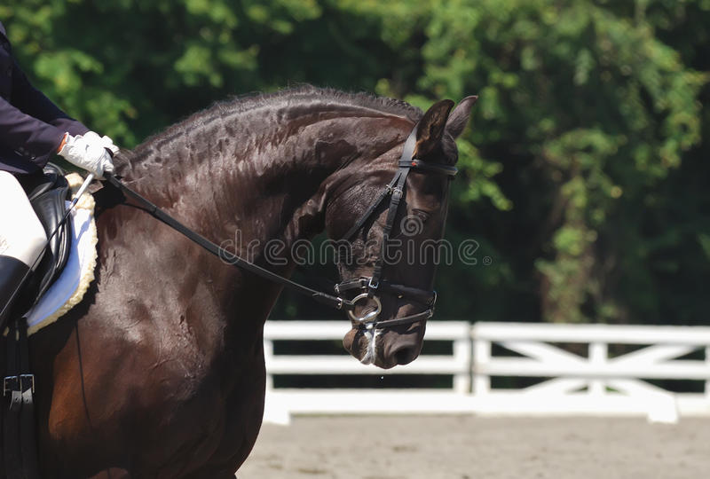 Download Dressage horse stock photo. Image of event, bridle, motion - 11037430