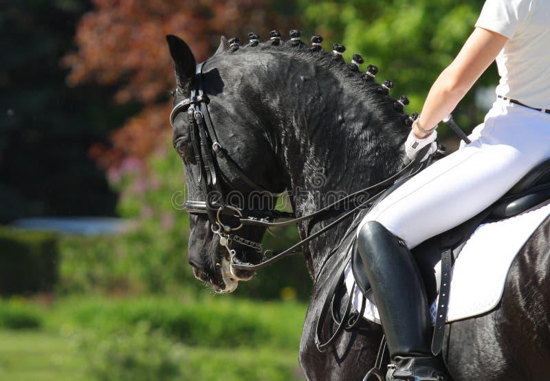 Download Dressage horse stock image. Image of glossy, black, saddle - 20231763
