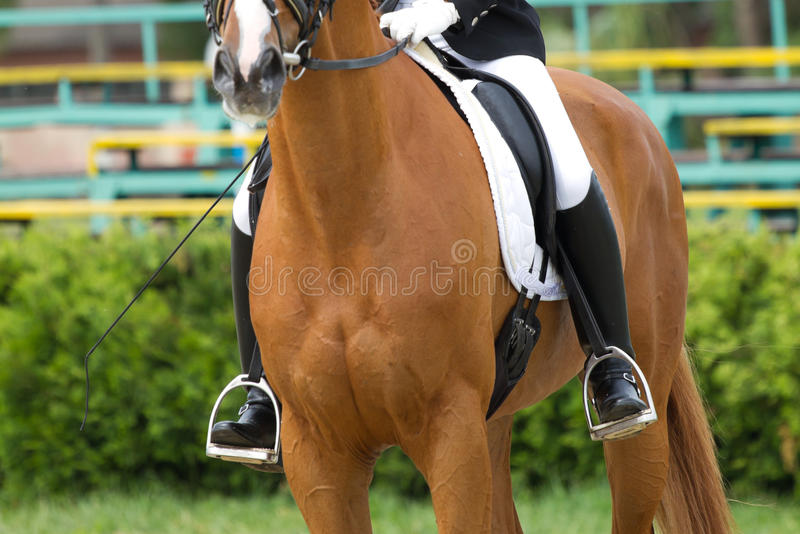 Download Dressage horse stock photo. Image of dressage, mare, equitation - 38524580