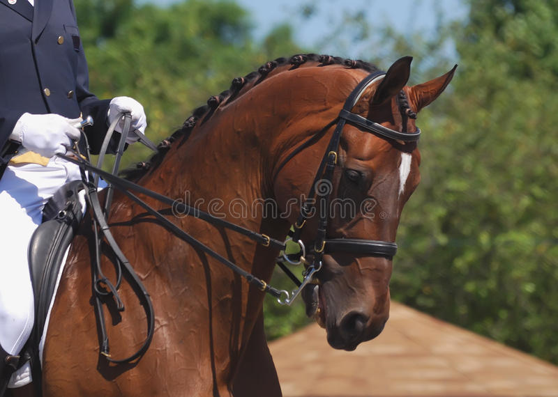 dressage koń zdjęcia royalty free