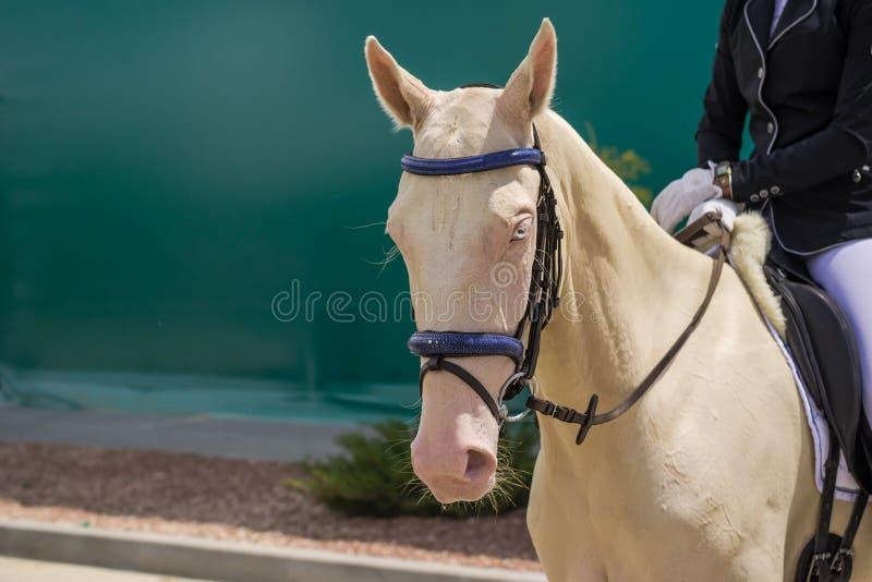 Dressage końska głowa Kremowy koń z niebieskie oko portretem podczas dressage rywalizaci zdjęcie royalty free