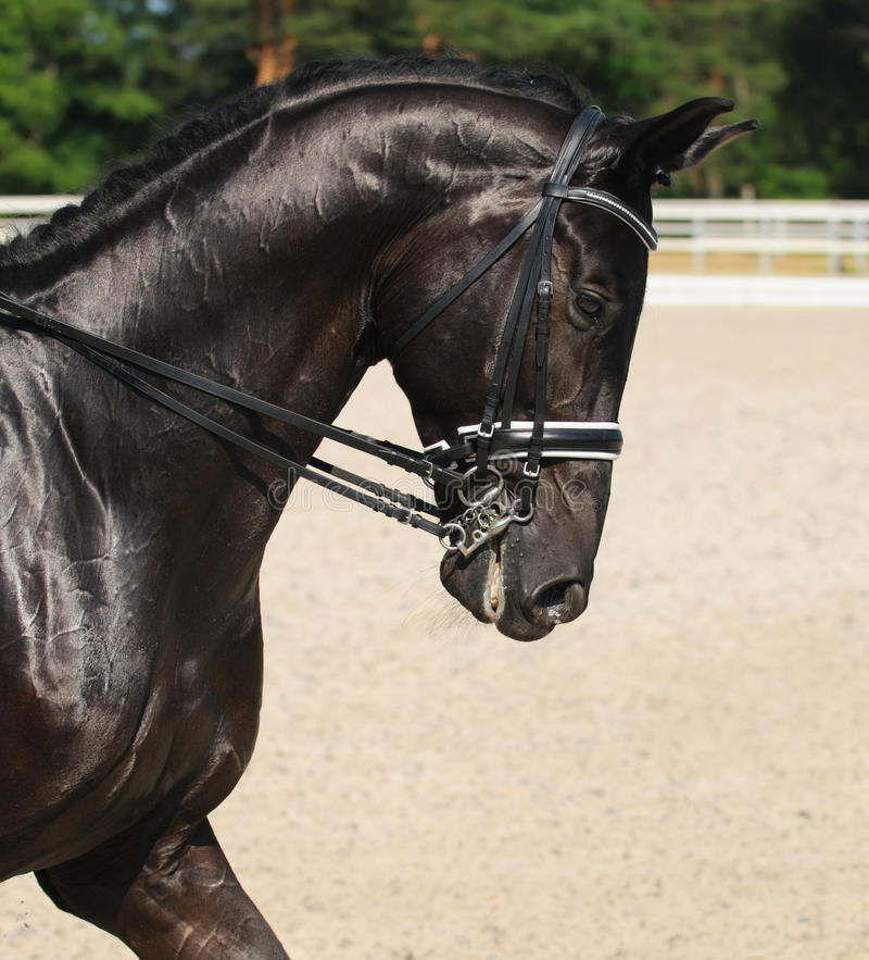 Dressage: Portrait Des Schwarzen Pferds Stockbild