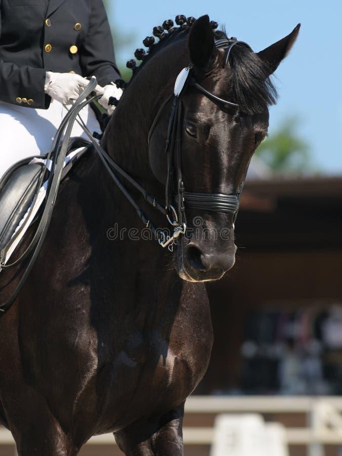 Dressage: Retrato Do Cavalo Preto Imagem de Stock