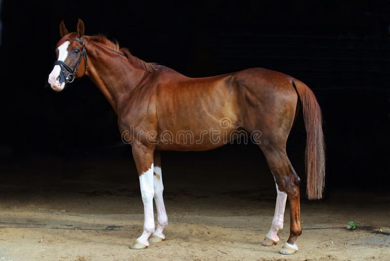 Race horse portrait in dark stable doorway background stock photos