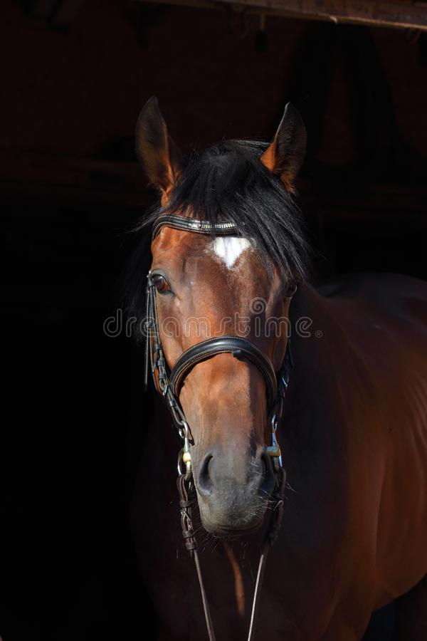Dressage sports thoroughbred horse portrait in stable doorway royalty free stock image