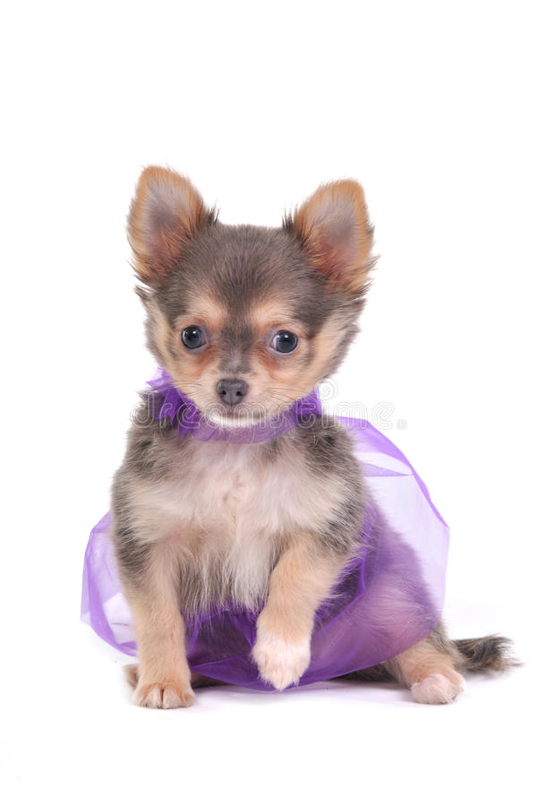 Download Dressed Chihuahua stock image. Image of fancy, collar - 17418255