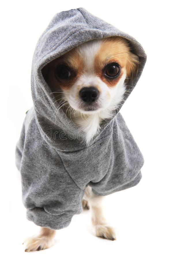 dressed chihuahua Violka stock photography