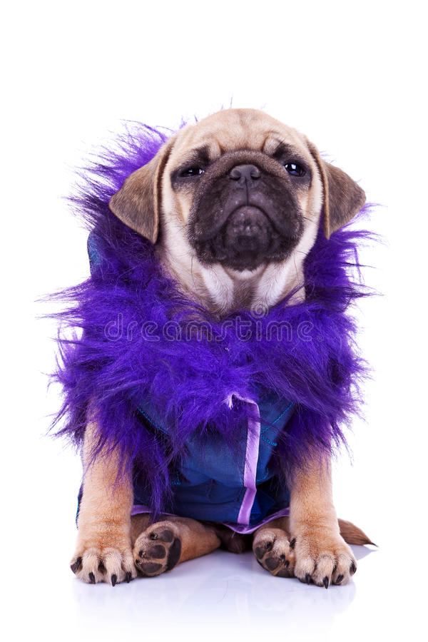 Download Dressed  Pug Puppy Dog On White Stock Photos - Image: 23362443
