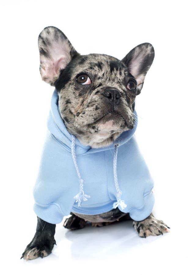 Dressed puppy french bulldog stock image