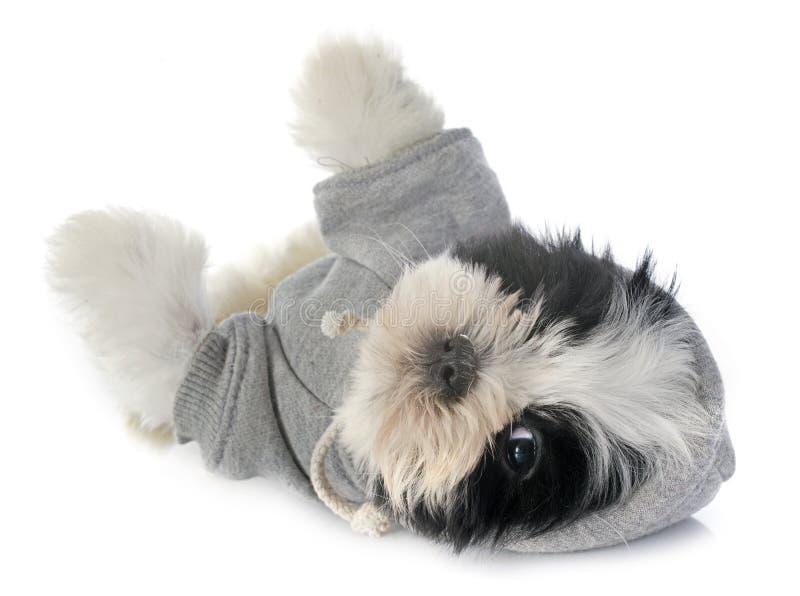 Dressed puppy shitzu stock image