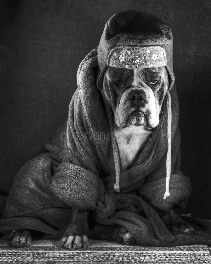 A dressed thoughtful bulldog ..... in black and wh. A thoughtful Olde English Bulldog in black and white HDR, which is dressed in robe and cap stock images