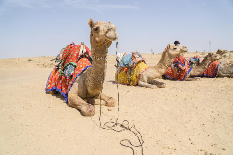 Dressed up Camels stock photo