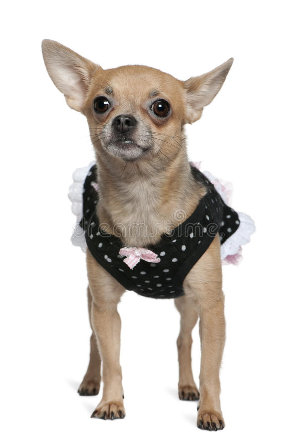 Dressed Up Chihuahua, 3 Years Old Stock Photo