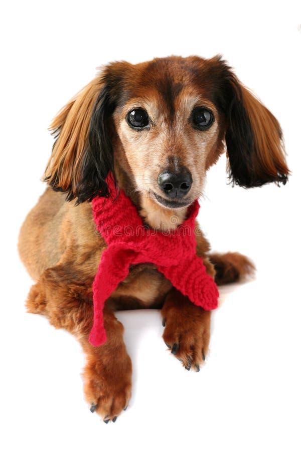 Dressed up dachshund. stock photography