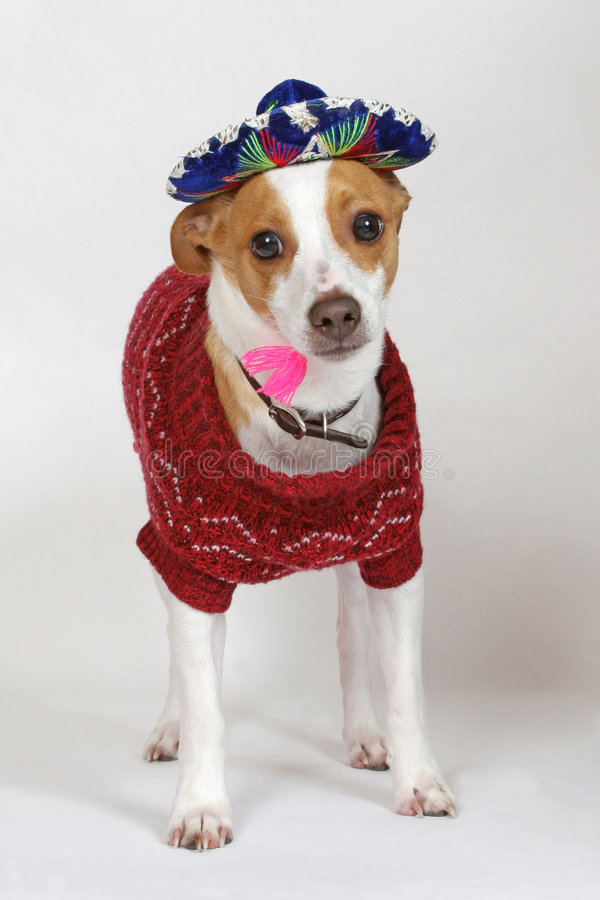 Dressed up and Ready to Party. Buster the Rat Terrier ready for a fiesta stock photos