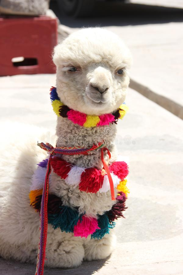 A dressed up white Alpaca royalty free stock image