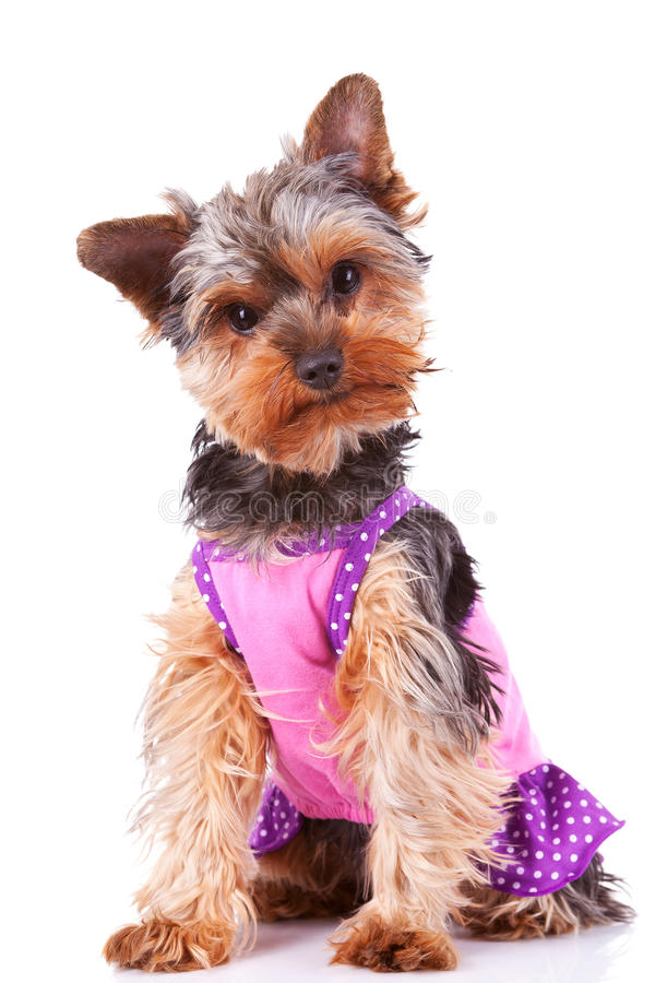 Download Dressed Yorkshire Puppy Dog Stock Photo - Image of animal, cute: 24765862