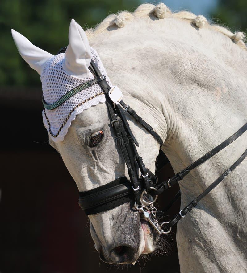Dressuur: Portret Van Grijs Paard Stock Afbeelding