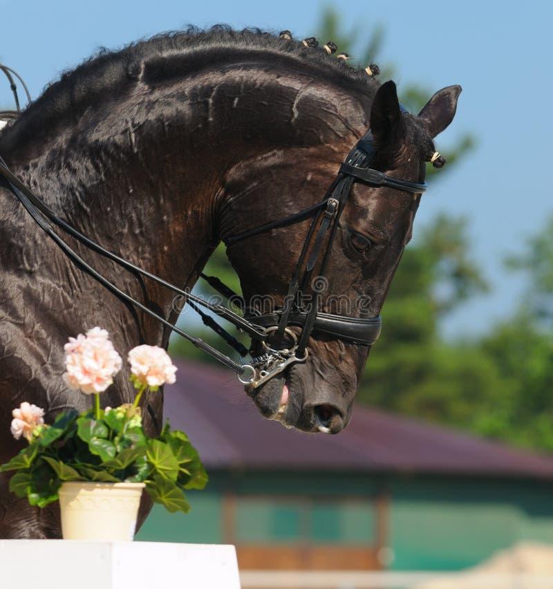 Dressuur: Portret Van Zwart Paard Royalty-vrije Stock Afbeeldingen