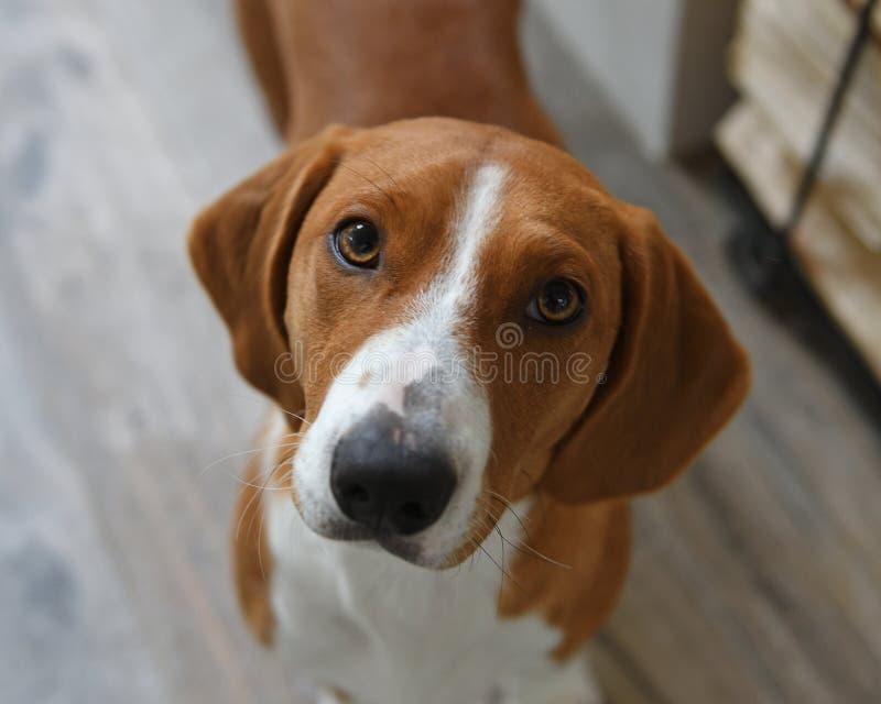 Drever, порода собаки, коротк-шагающее scenthound от Швеции использовало для охотиться олени и другая игра Drever спущено от West стоковое изображение