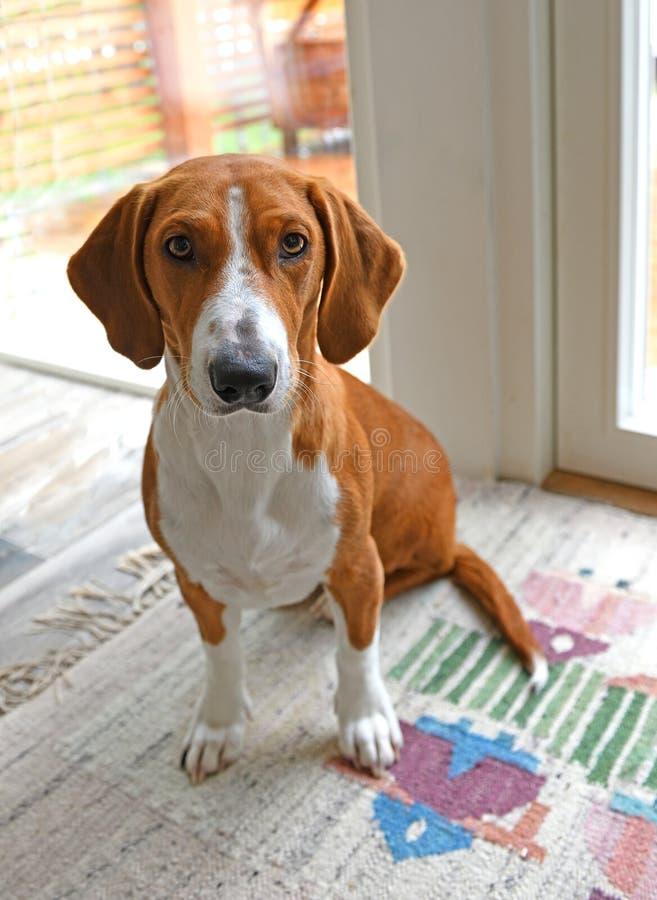 Drever, порода собаки, коротк-шагающее scenthound от Швеции использовало для охотиться олени и другая игра Drever спущено от West стоковое фото rf
