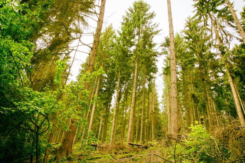Drewna Eifel park narodowy w Północnym rhine Niemcy zdjęcia stock