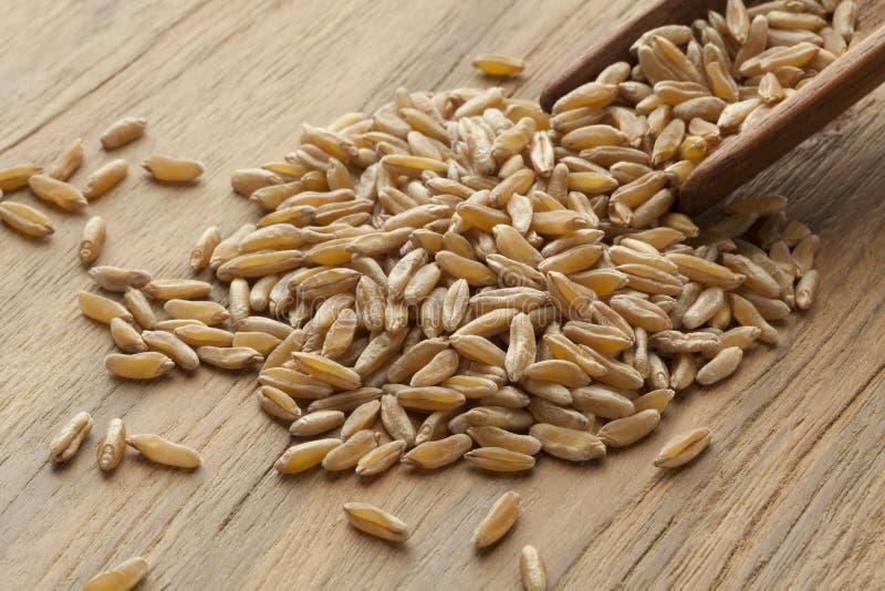 Drewniana łyżka z kamut nasionami zdjęcie royalty free