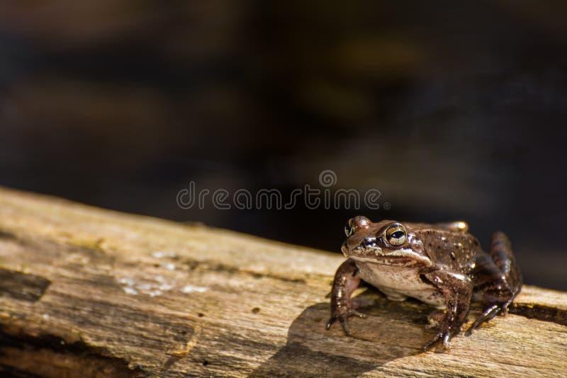 Drewniana żaba obrazy royalty free