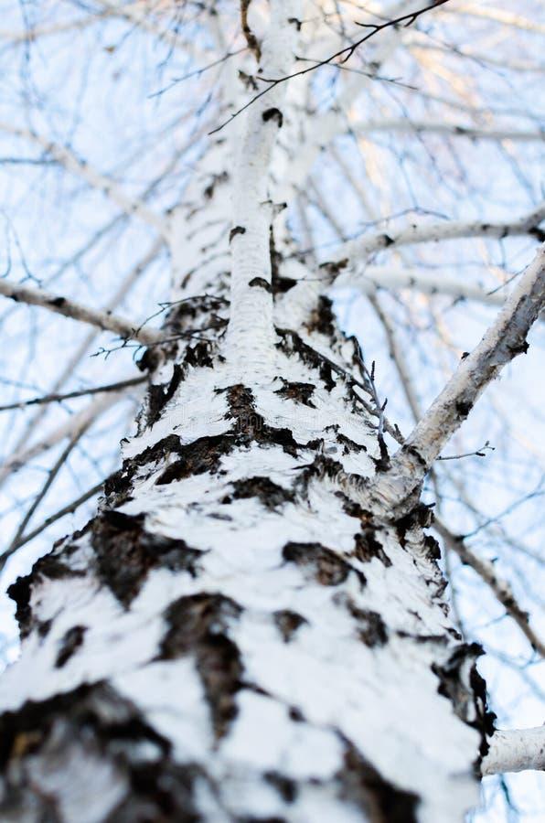Drewniana brzozy barkentyna zdjęcie stock