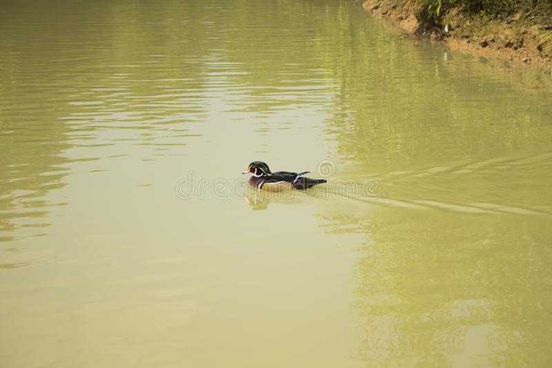 Drewniana kaczka w Bangladesh 2015 obrazy royalty free