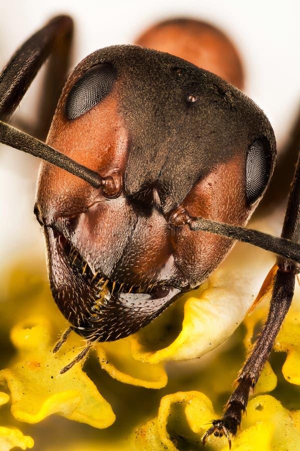 Drewniana mrówka, mrówka, mrówki, Formica rufa obraz royalty free