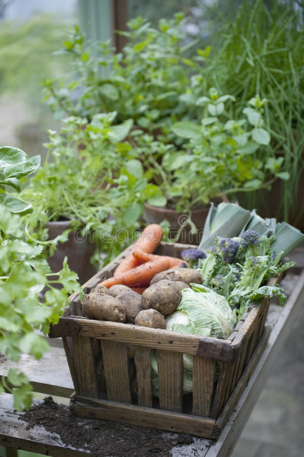 Drewniana skrzynka warzywa W szklarni fotografia stock