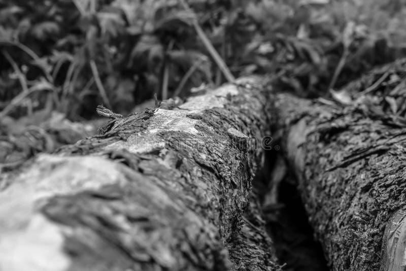 Drewniana sosnowa nierówna ciężka barkentyna zabarwiająca bagażnika tła bazy projekta strony internetowej pionowo ostrość w centr zdjęcie royalty free