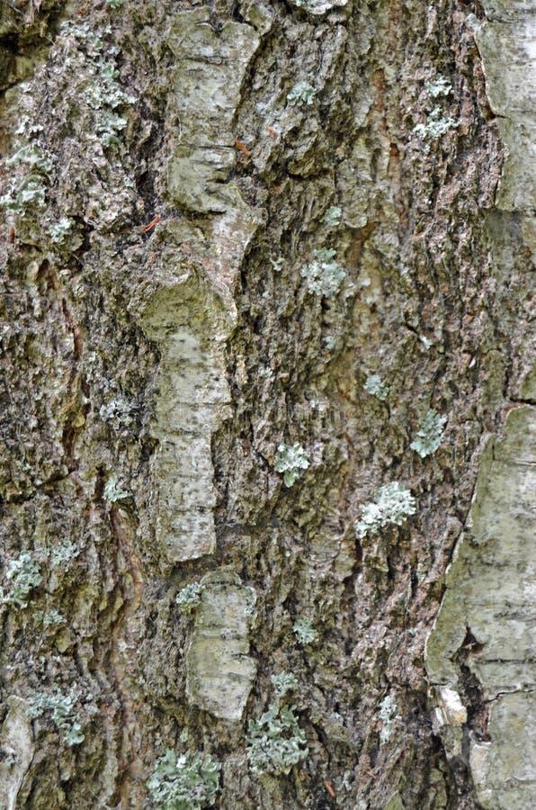 Drewniana tekstura Barkentyna żywy drzewo obraz stock