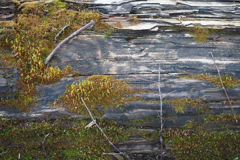 Drewniana tekstura przegniły szalunek z mech, tłem i podstawą, fotografia stock