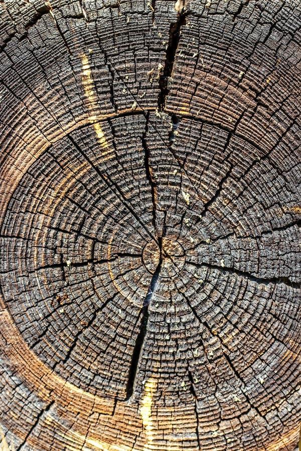 Drewniana tekstura rżnięty drzewny bagażnik, zakończenie pokazywać drzewnego bagażnika pierścionek przecinająca wzrostowa sekcja fotografia stock