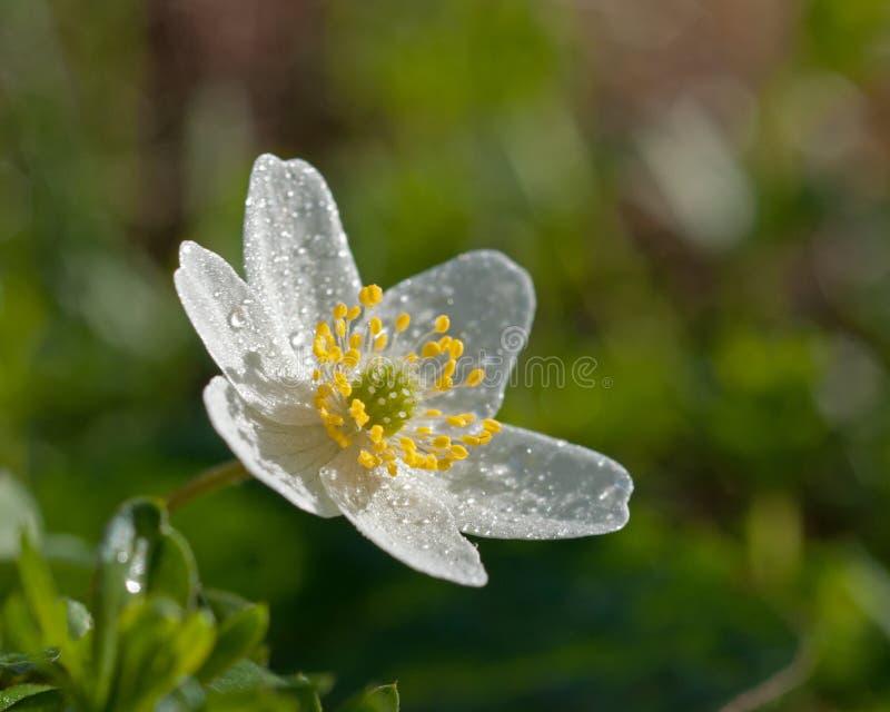 Drewnianego anemonu anemonu nemorosa fotografia royalty free